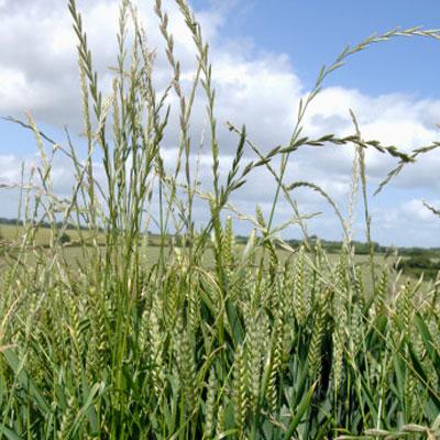 rye-grass
