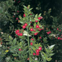 butchers-broom-remedy