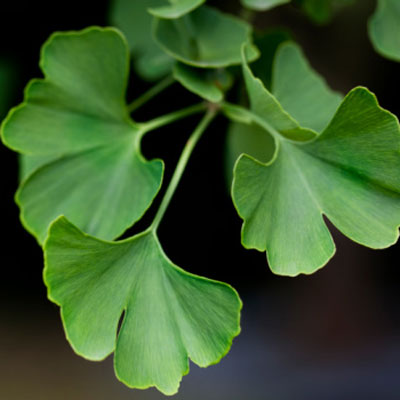 leaves of the ginkgo plant (also known as the maidenhair tree),
