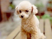 poodle-allergy