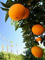 oranges-vitamin-c