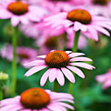 echinacea
