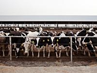 cows-hormones