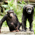 two-chimps
