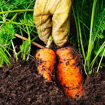 carrots-organic-eating