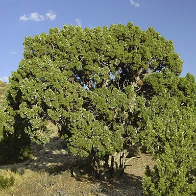 Mountain cedar worst plants for your allergies Cedar credit