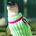 Alert, Alert: Adorable Penguins Need Sweaters! 