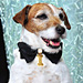 The Artist Dog, Uggie, Wore a 18-Karat Gold Chopard Collar
