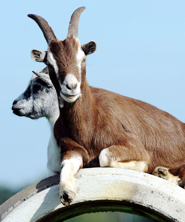 Goats are having a moment.