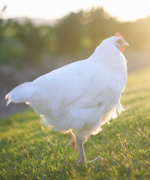 Celebrity Chickens