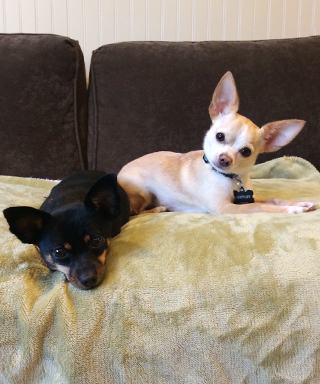 Benny and Rico - adorable chihuahuas