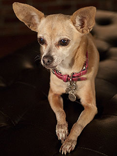 Taco Bell Chihuahua Dies