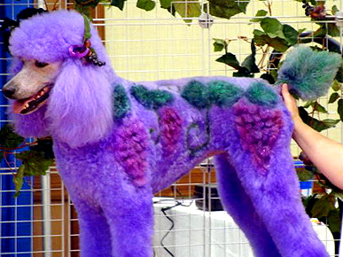 Poodles that look like camels, turtles or chickens? With a lot of hair ...