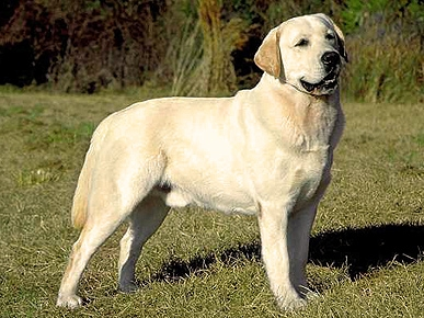 Lab Still the Most Popular Breed of Dog