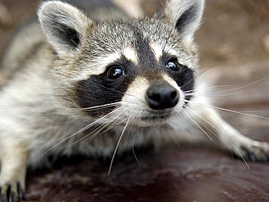 Animal Lovers to Obama: Don&#39;t Evict Raccoons!