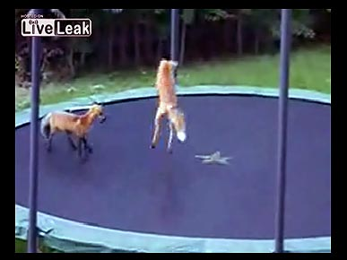 Wednesday's Funny Video: Foxes on a Trampoline!