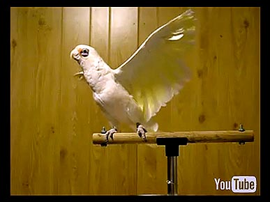 Monday's Funny Video: Frostie the Dancing Cockatoo