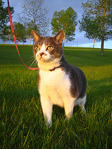 Cats on Leashes? Yes, Say Owners