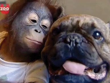 Friday's Cute Pet Video: Bulldog Hearts Baby Orangutan!