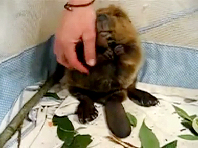 Tuesday's Funny Video: Beaver Pettin' 101