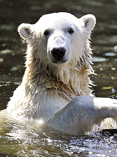 It's A Date! Knut the Polar Bear to Get an Italian Girlfriend