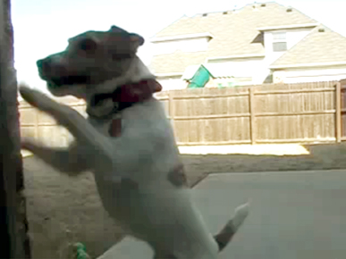Monday's Funny Video: Jack Russell Wants In – Now!