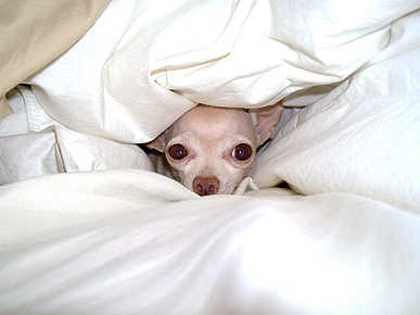 What's This Chihuahua Saying Between the Sheets?