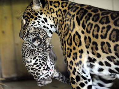 Pawa the Baby Jaguar Gets Carried Away