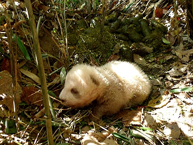Rare Brown Giant Panda Cub Discovered in China