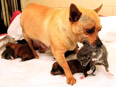 New Mommy Chihuahua Adopts Orphaned Kittens