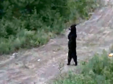 Wednesday's Funny Video: Bear Walks Like a Human!