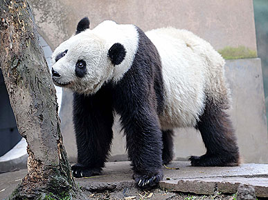 Panda Tai Shan Greets His New Public in China!