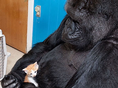 Koko the Gorilla Cradles a (New) Kitten
