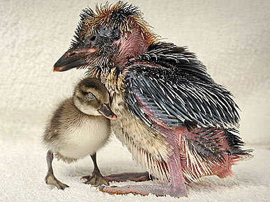 Please Don't Eat Me! Ducklings Snuggle Up to Kookaburra