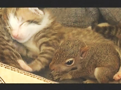 Hand-Reared Baby Squirrel Thinks He's a Kitten