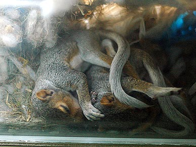 Baby Squirrels Grow – On a Windowsill! – in Brooklyn