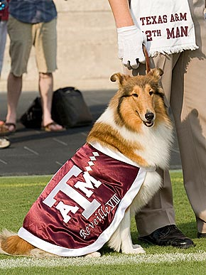 reveille texas a&m university dog collie college mascot sitting at football game