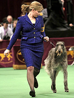Scottish Deerhound Wins Best in Show at Westminster
