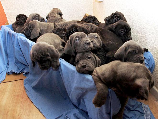 Img 368742 biggest dog neapolitan mastiff ch samson largest and