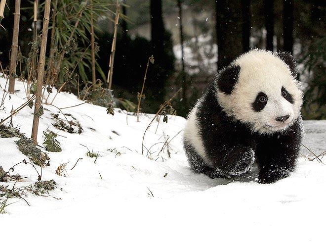 Fotos De Pandas Bebés Tiernos