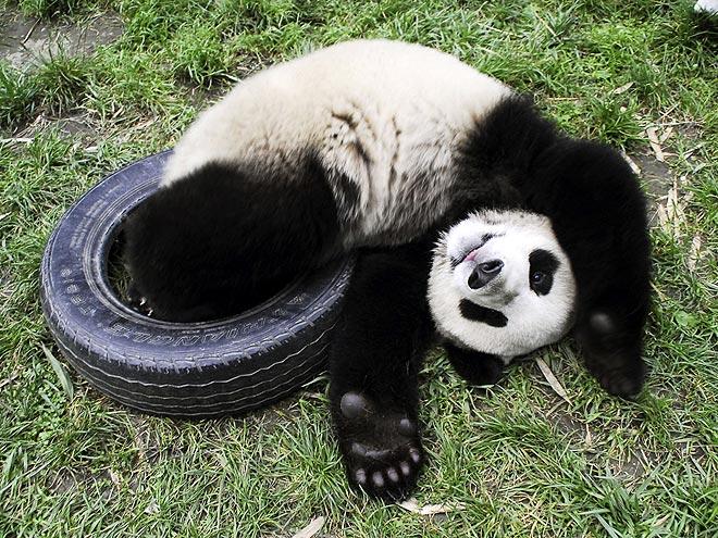 panda-5-660.jpg
