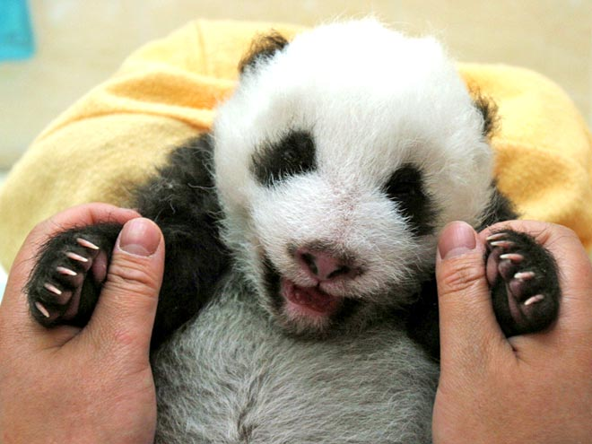 15 drop dead cute pandas stop what you re doing and hang out with