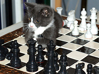 Animal D'Oh! Cat Contemplates His Next Chess Move