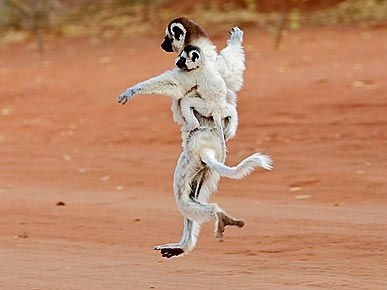 Cute Photo: Lemurs Think They Can Dance