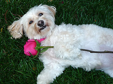 Animal D&#39;Oh! Jordan the Dog Gets Kissed by a Rose