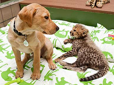 Baby Cheetah and His Puppy BFF Get Names!