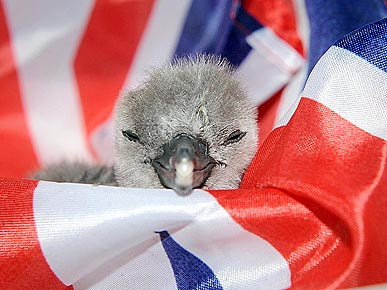 Newborn Penguin Catches Royal Wedding Fever!