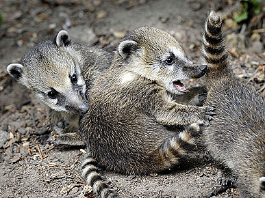 Cute Photo: Coati Cubs Play Ring Around the Rosie