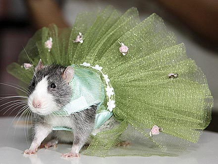 Runway Rodents! Rats Model Designer Duds | Cute Pets, Pet Clothing, Pet Style