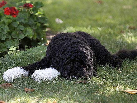 Hot Dog! Bo Obama Heads to the Shade| Stars and Pets, Dogs